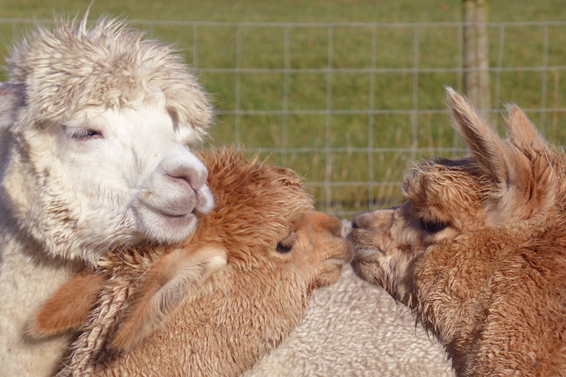 charney-magri-ally-bee-alpaca-yarns4